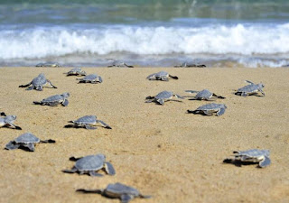 Κύπρος: Με γουρούνες διέλυσαν τις φωλιές των χελωνών