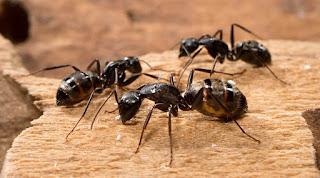 معنى النمل الكبير في الحلم
