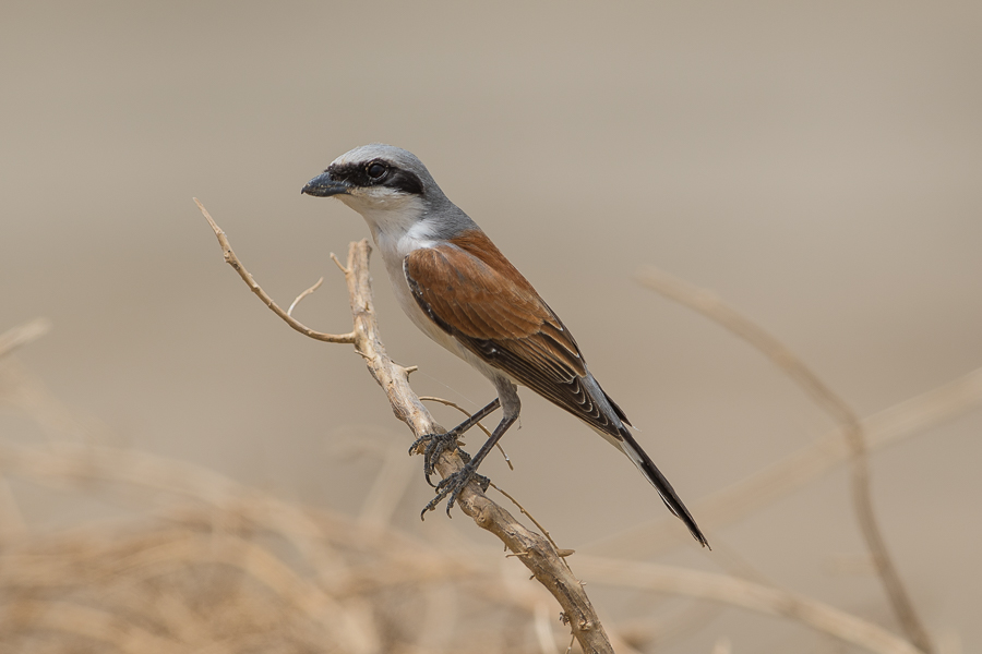 Red-backed Shrikes – Jubail