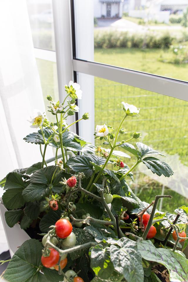 Villa H, parasta just nyt, lasitettu terassi, mansikat, tomaatit