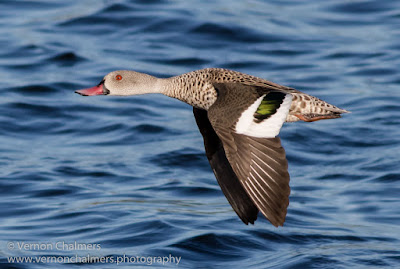 Cape Teal Duck in Flight- Woodbridge Island / Cape Town