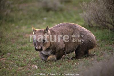 Wombat nariz peluda del sur (Lasiorhinus latifrons)