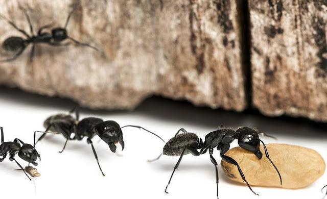 نصائح للقضاء على النمل نهائيا: