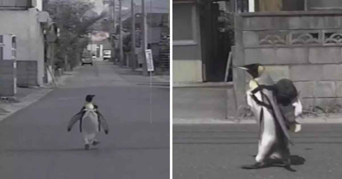 Penguin In Japan Walks Into Local Fish Market To Get A Fish Snack