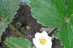 Menjadikan limbah cangkang telur sebagai pestisida alami untuk mengusir hama