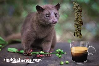 اغلى قهوة في العالم تصنع من مخلفات حيوان