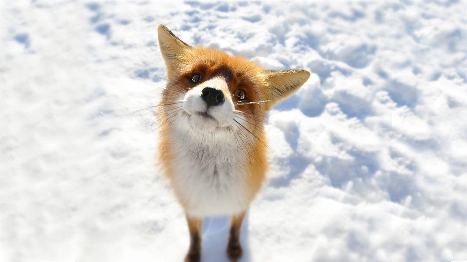 Curios fox on white snow