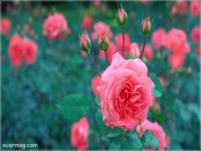 ورد احمر طبيعي 20 | Natural red roses 20