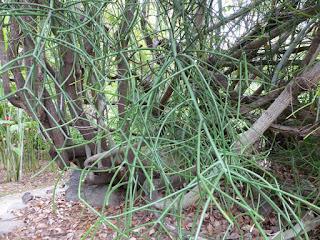 Euphorbe crayon - Bois de lait - Euphorbia tirucalli