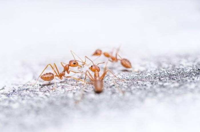 Cara Mengusir Semut paling Ampuh dengan Bahan Alami