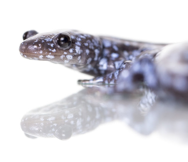 Unisexual salamander evolution: A long, strange trip