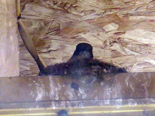 phoebe on a nest