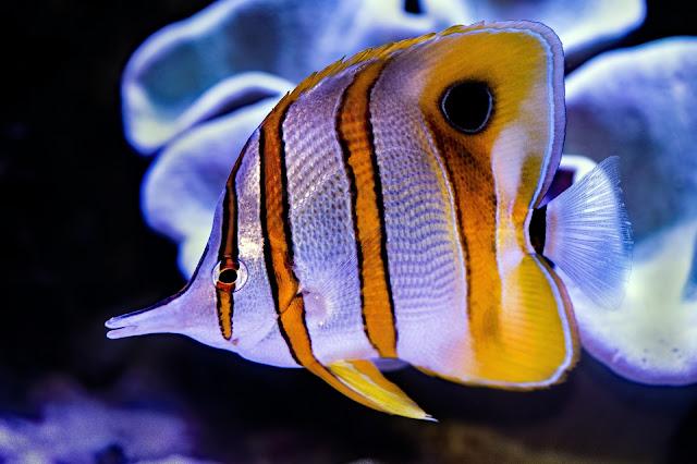 Angelfish breeding and eggs