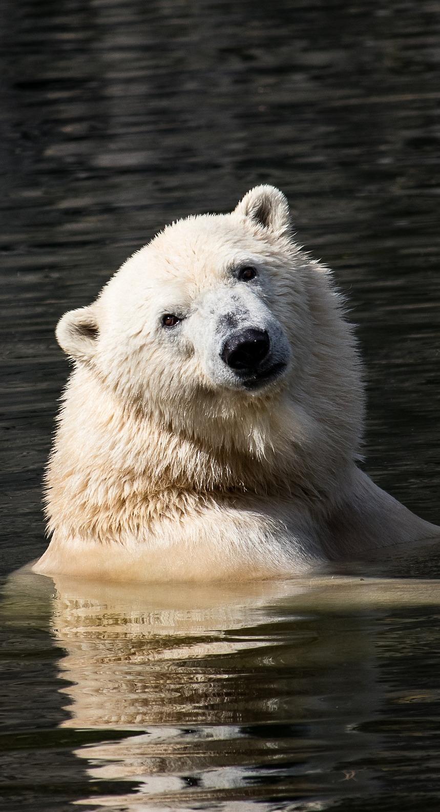 A polar bear in the water.
