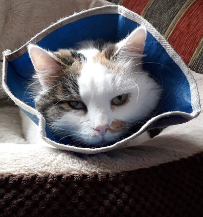 tabby-and-white cat wearing cone collar