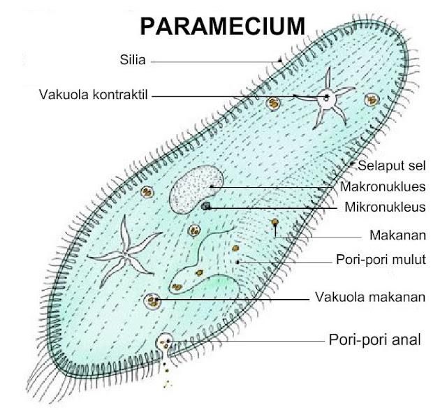 Struktur paramaecium