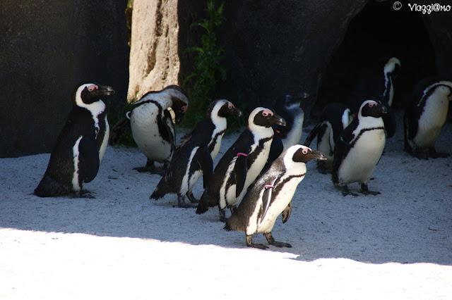 Pinguini del Sudafrica ospiti del parco
