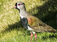 Birds of Patagonia: Southern lapwing in Bariloche Argentina