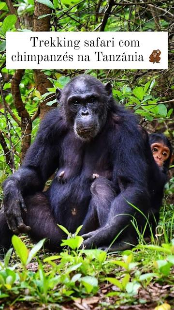 trekking chimpanzés Tanzânia