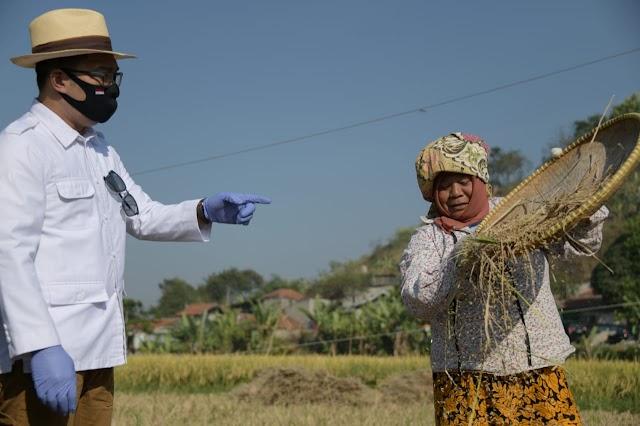 Gubernur Jabar  Tinjau Panen Raya Padi Hasil Metode Jamu Organik Biogro di Kota Cimahi