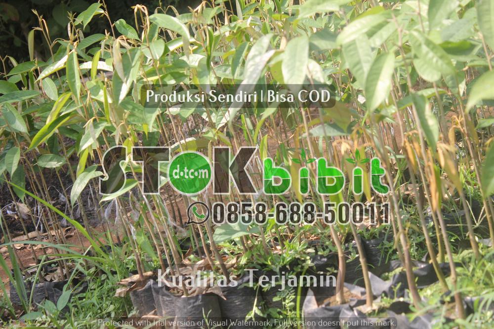 Bibit Sawo Manila Sambung Super Berkualitas     terjamin     terjamin