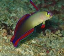 Ikan Hias Air Laut Dartfish