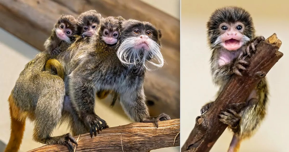 These Adorable Emperor Tamarin Triplets Are Born At Vienna Zoo And Are The Size Of A Thimble