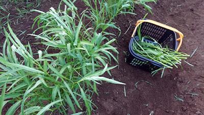 若いエンツァイの収穫