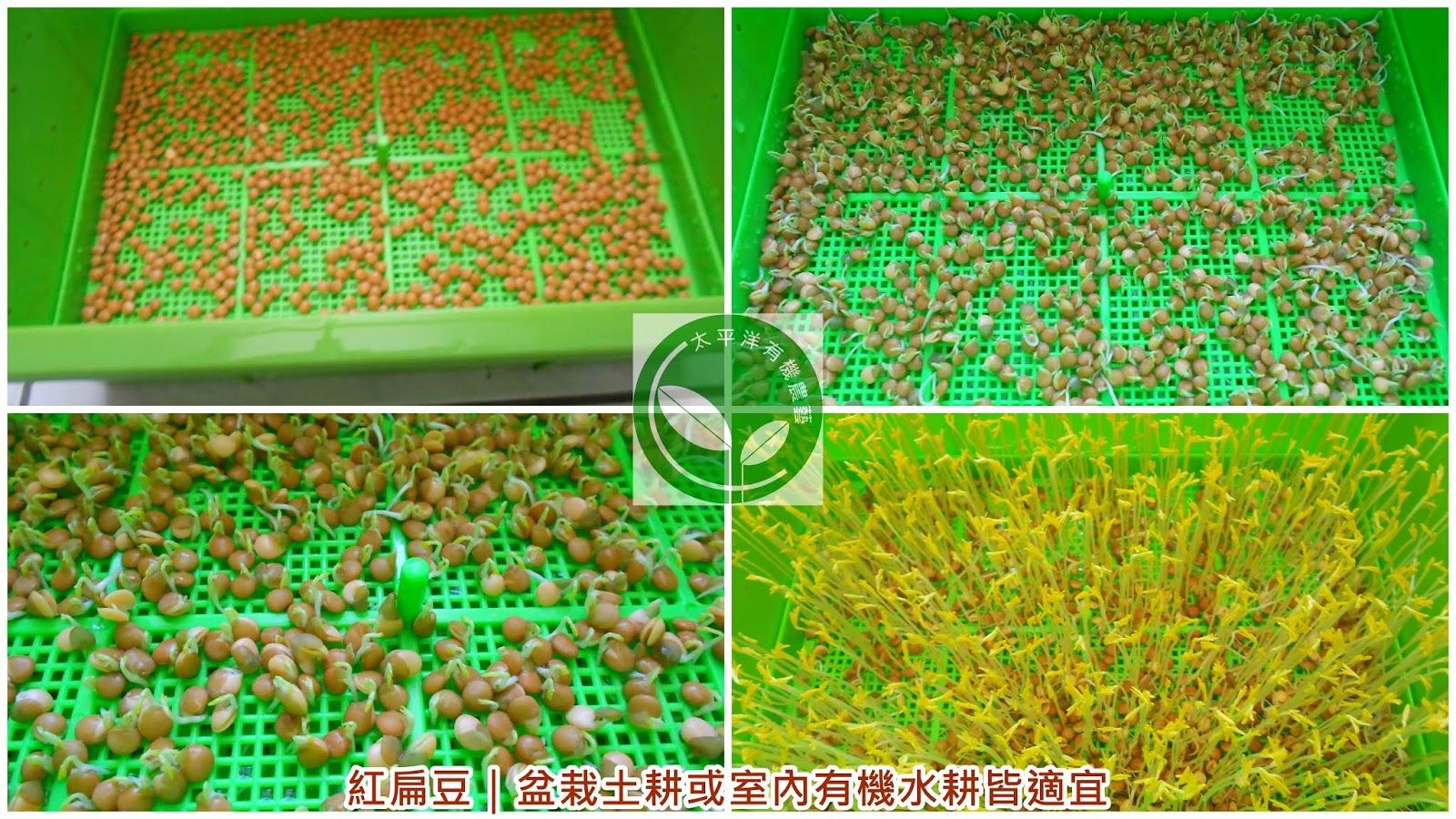 扁豆,紅扁豆,紅扁豆料理,紅扁豆食譜,紅扁豆營養,扁豆功效,綠扁豆,綠扁豆的功效,小扁豆購買,紅扁豆功效