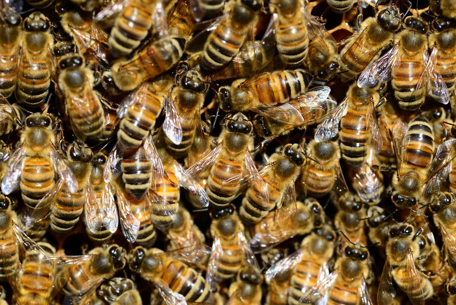 Picture of a swarm of bees.