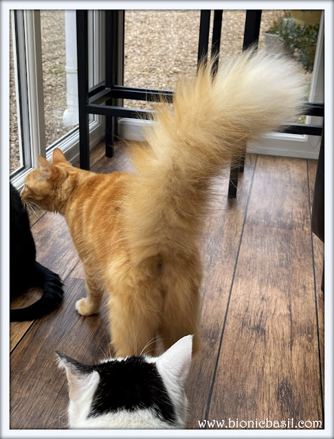 Fudge's Giant Floof Explodes ©BionicBasil® The Pet Parade 394