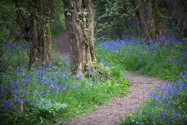 Beautiful bluebells line a wooodland path at Brampton Wood in Cambridgeshire