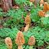Gucchi mushroom benefits दुनिया के सबसे मेहेंगे मशरुम गुच्छी की सब्जी उपयोग के लाभ