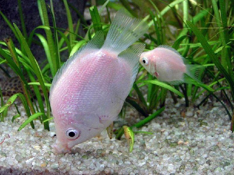klasifikasi ikan tambakan