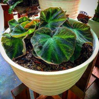 jual bibit Begonia soli mutata | genus dari tanaman berbunga dalam keluarga Begoniaceae
