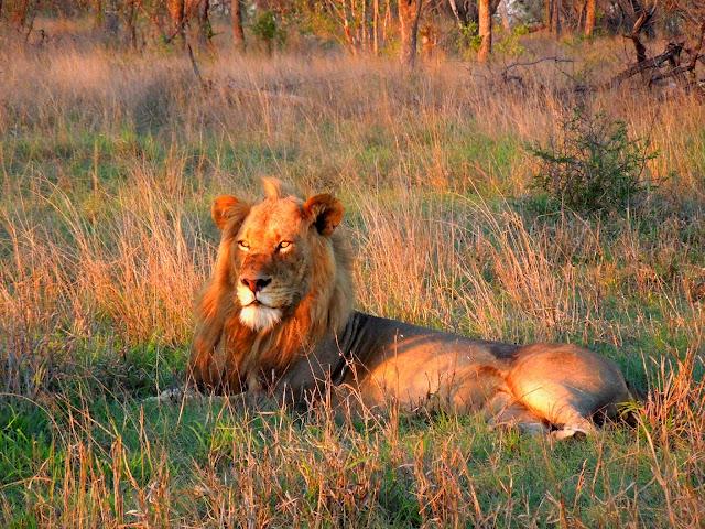 Honey badger vs lion testicles - photo#35