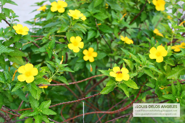 Aside from the fire tree this shrub with yellow flowers caught my eye