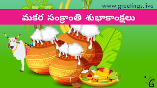 Beautiful Decorated Bull called as Gangireddu, Glod colour gradient pots with white pongal over flowing at Green Back Ground,banana leaf sugar canes and devotional items with Sankranti wishes in Telugu Script