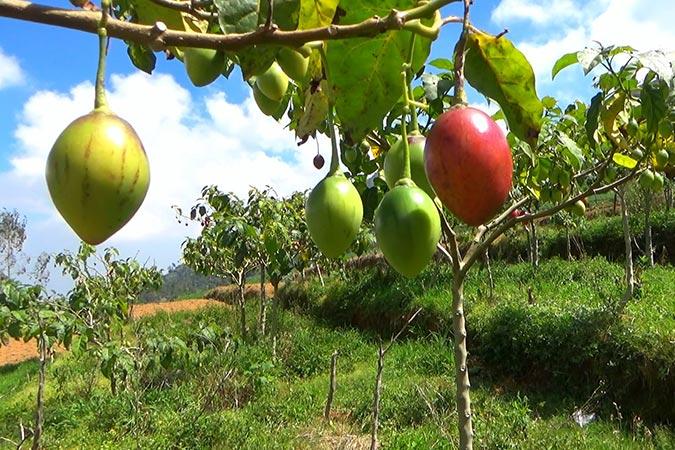 Dlium Tamarillo (Solanum betaceum)
