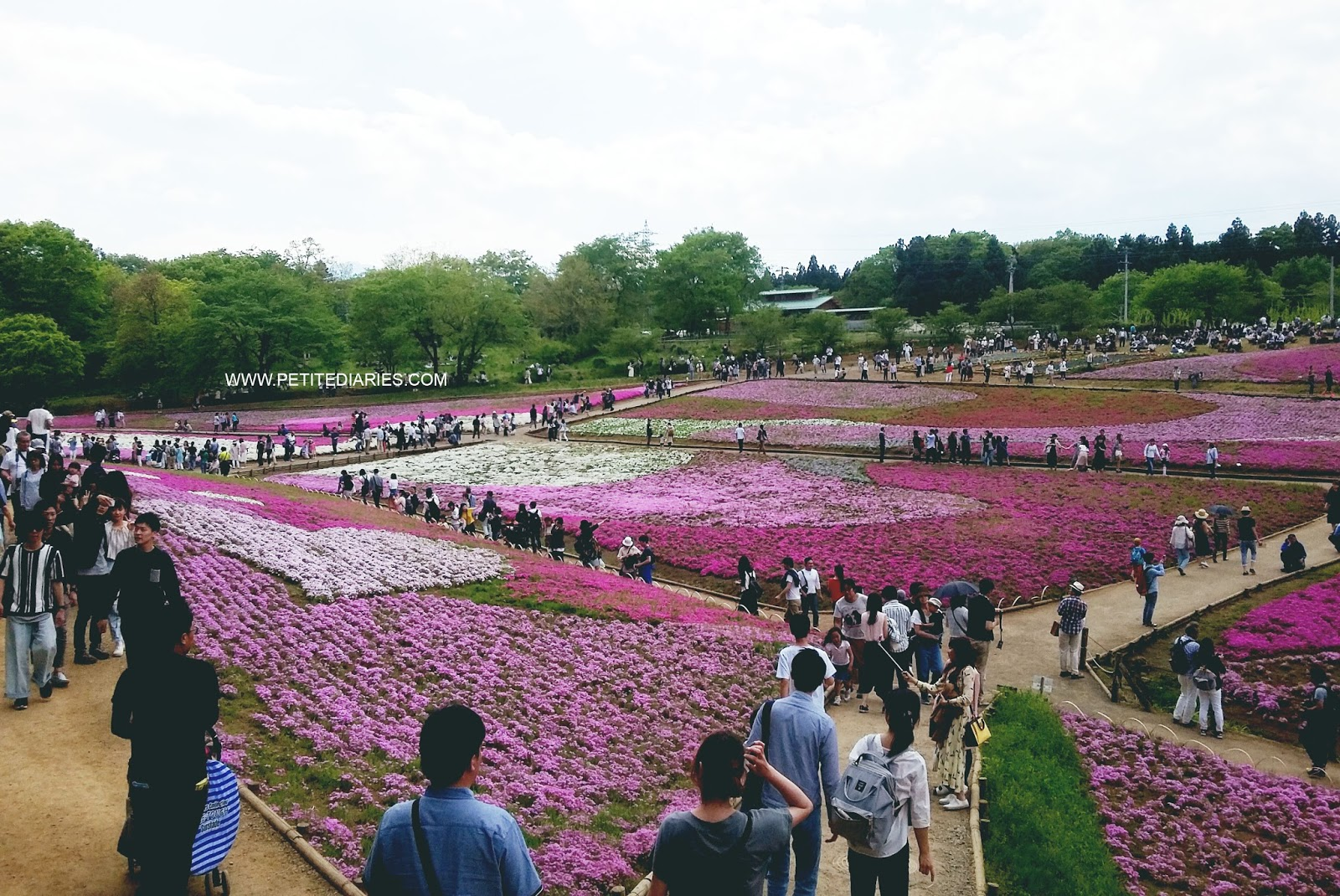 moss phlox festival pink flower in chichibu saitama japan