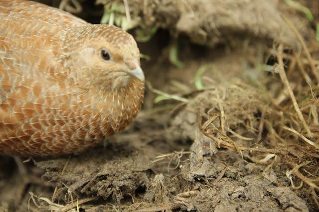 organic gardening using Coturnix quail for pest control