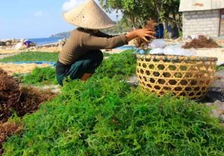 Rumput Laut telah menjadi salah satu komoditas andalan dalam hal produk perikanan Kabar Terbaru- PENANGANAN DAN PENGOLAHAN RUMPUT LAUT