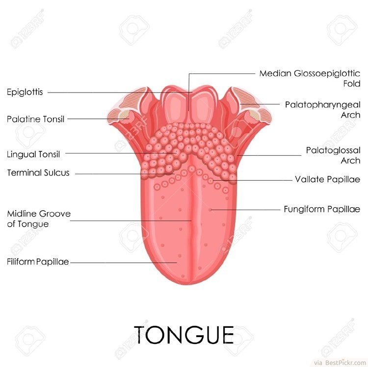 info-science : human tongue-, Cephalic Vein