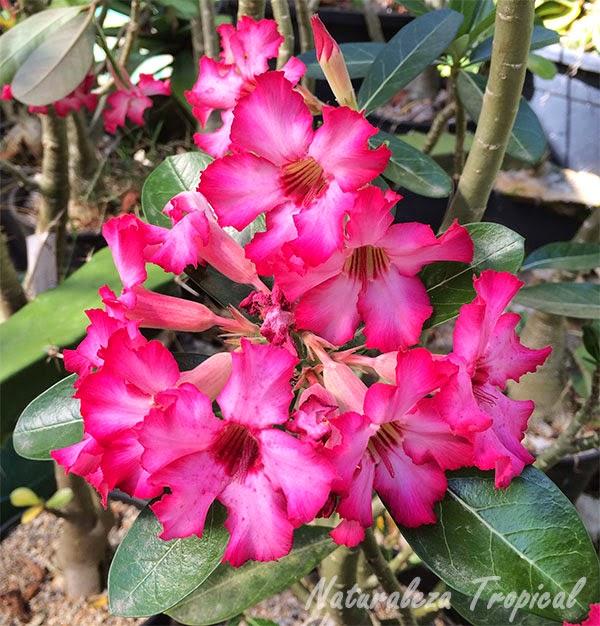 Ramillete de flores Rosas del Desierto, Adenium obesum
