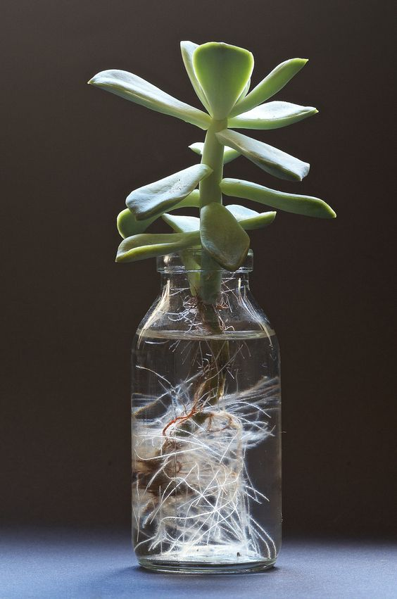 Propagaci n de suculentas con agua saperes for Plantas para estanques de agua fria