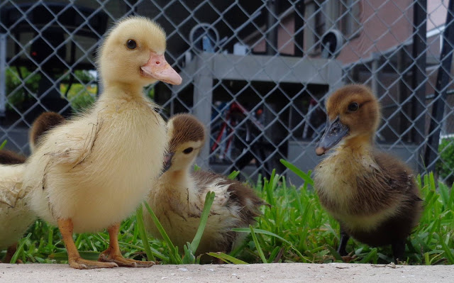 Muscovy Ducks, Muscovy Chicks, Confidence, Colleen M. Dougher, The Invisible Fly