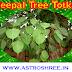 Peepal Tree Totkay