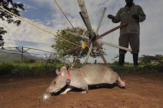 Tikus-tikus Kesatria, Mampu Selamatkan Ribuan Nyawa