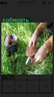 в лесу собирают грибы, подрезая каждый ножиком