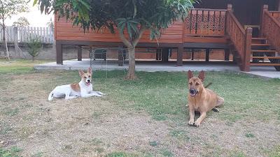 Hunde im Rasen